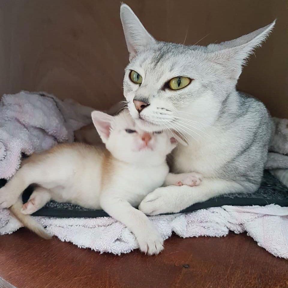 Серебряные абиссинские котики!